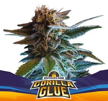Plant of Gorilla Glue auto flowers seeds