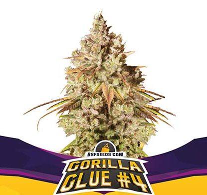 Plant of Gorilla Glue feminized seeds