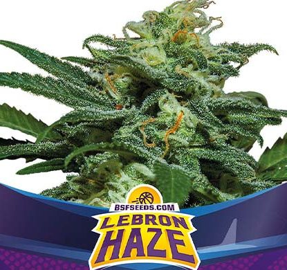SensorySeeds Autoflowering Lebron Haze Plant