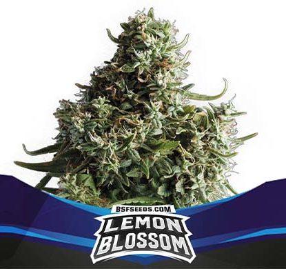SensorySeeds Autoflowering Lemon Blossom Plant