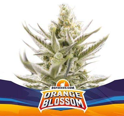 SensorySeeds Autoflowering Orange Blossom Plant