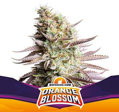 SensorySeeds Feminized Orange Blossom Plant