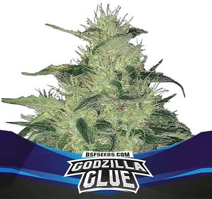 Plant of Godzilla Glue of auto flowers seeds