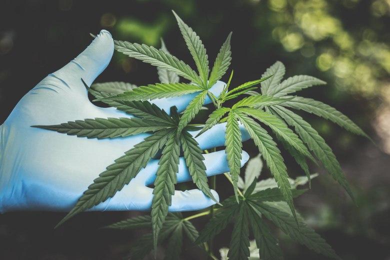 Cannabis Indica seeds