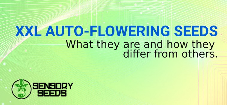 XXL AUTO FLOWERING SEEDS