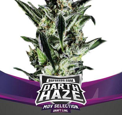 Darth Haze plant of feminized seeds