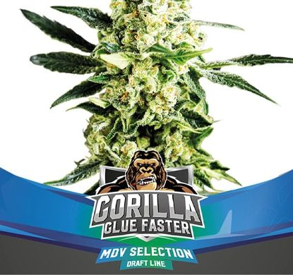 Weed Seeds Gorilla Glue Faster