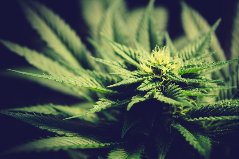 indica cannabis seeds