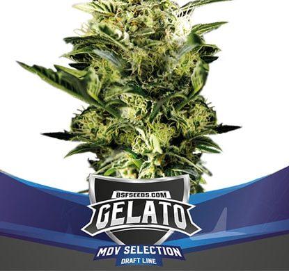 Plant of Gelato XXL of auto flowers seeds