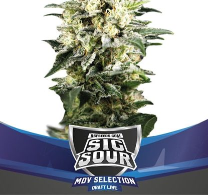 Weed Seeds Sig Sour XXL Automatic