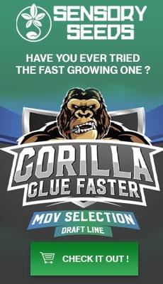 Banner Sensoryseeds Gorilla Glue cannabis seeds fast flowering