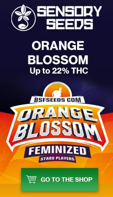 Banner Sensoryseeds Orange Blossom feminized cannabis seeds