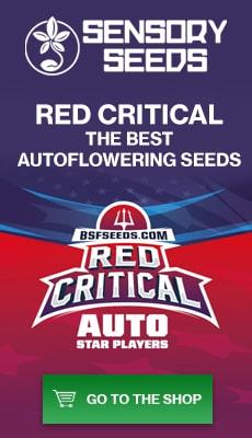 Banner Sensoryseeds Red Critical autoflowering cannabis seeds