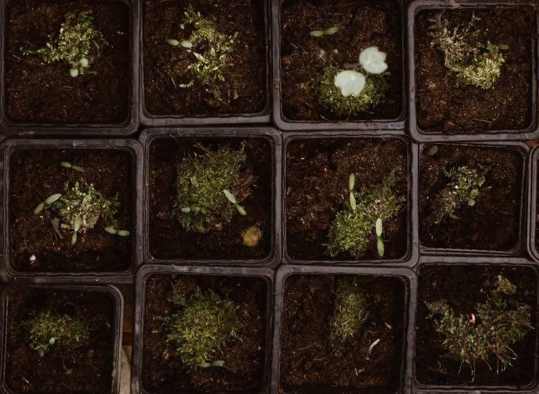 plantation of cannabis seeds
