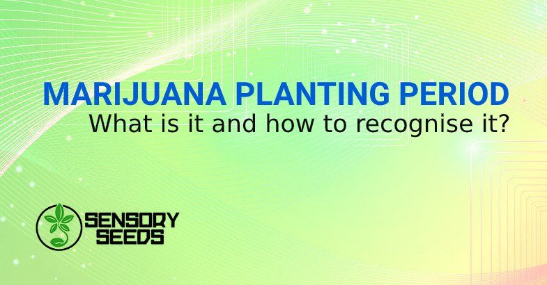 MARIJUANA SEEDS PLANTING PERIOD