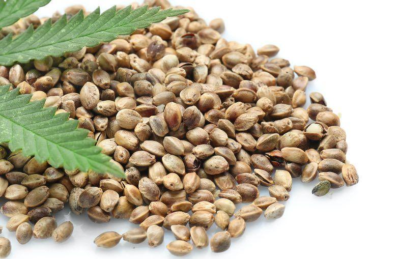 feminized seeds of cannabis