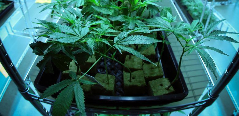 rockwool marijuana seeds