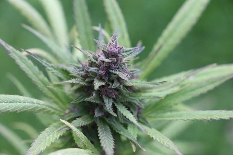 Cannabis Seeds Purple Haze