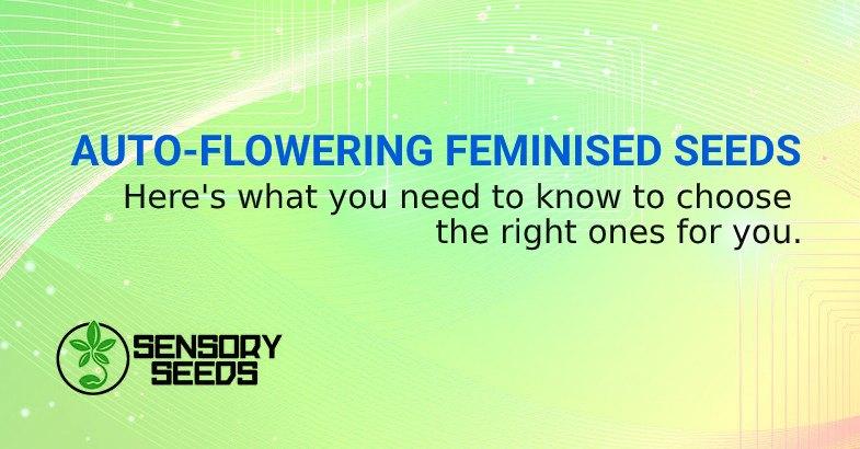 FEMINIZED AUTO FLOWER SEEDS