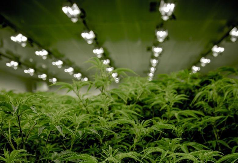 Growing marijuana seeds with artificial light
