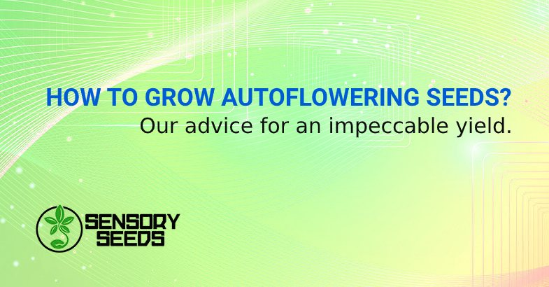 HOW TO GROW AUTO FLOWER SEEDS