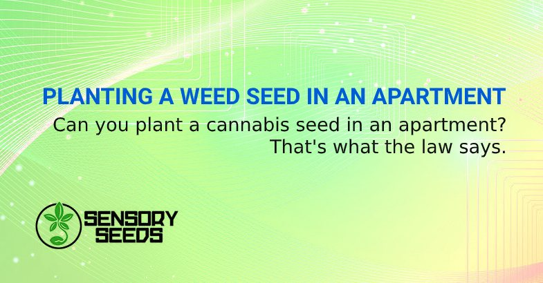 PLANTING A WEED SEED IN AN APARTMENT