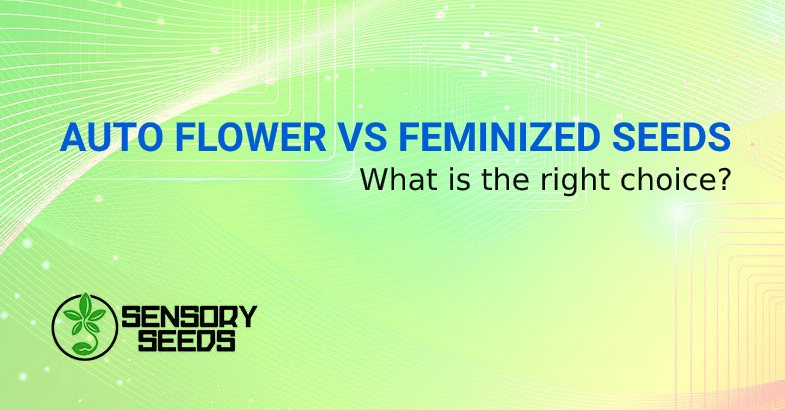 AUTO FLOWER SEEDS VS FEMINIZED SEEDS