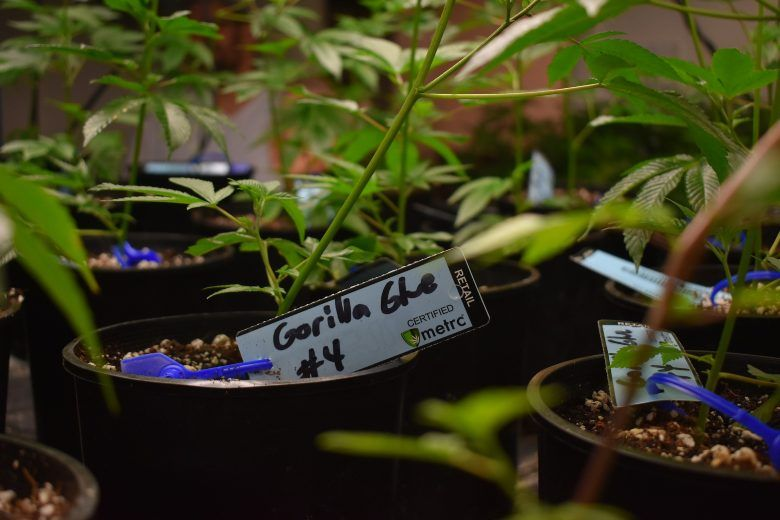 best weed and cannabis seeds of gorilla glue