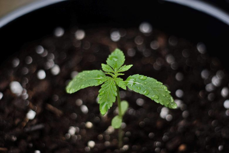 how to grow bonsai from cannabis seeds