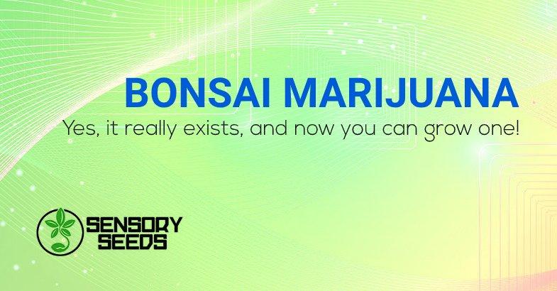 Bonsai Marijuana grow one