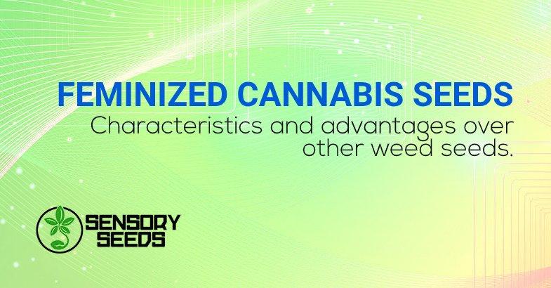 Feminized cannabis seeds advantages