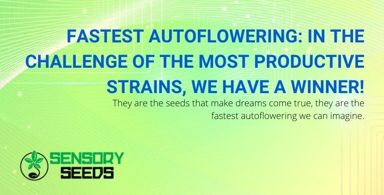 The winner for the fastest and most productive best autoflowering seed