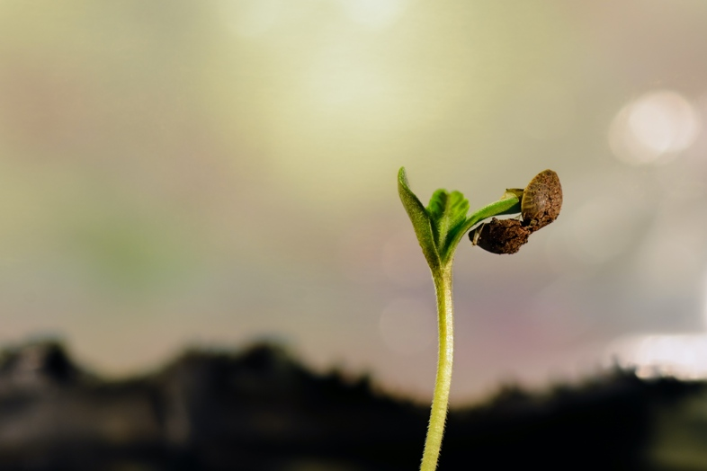 Using cotton to germinate cannabis seeds