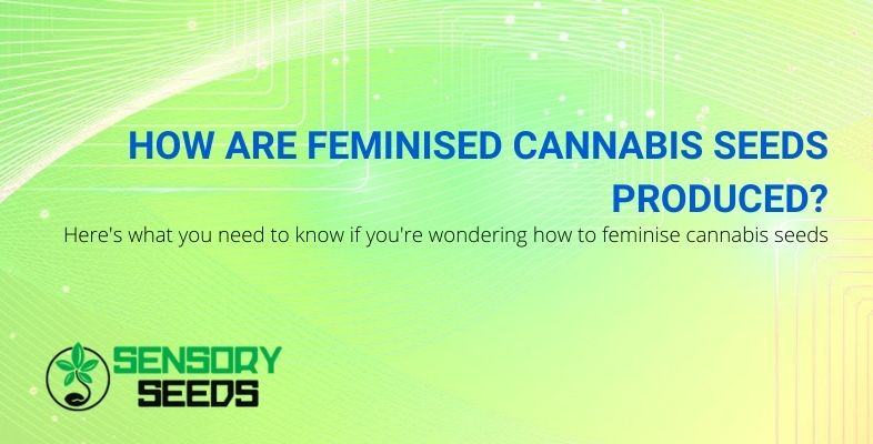 How are feminised cannabis seeds produced?
