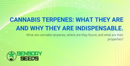 Cannabis terpenes: what are they,?