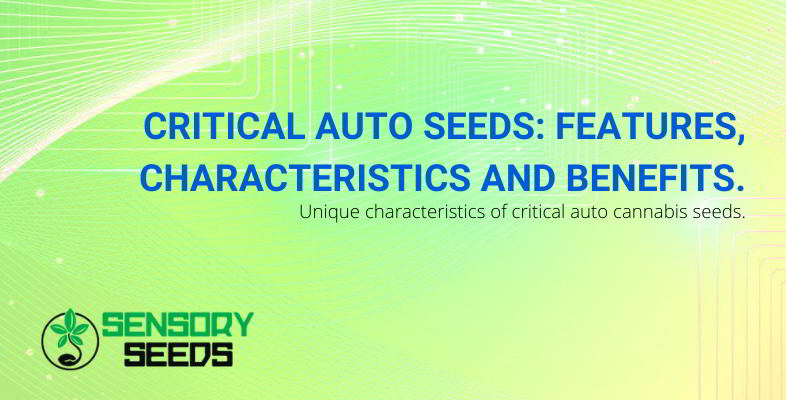 Critical Auto Seeds.