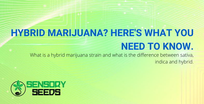 What you need to know about the hybrid marijuana