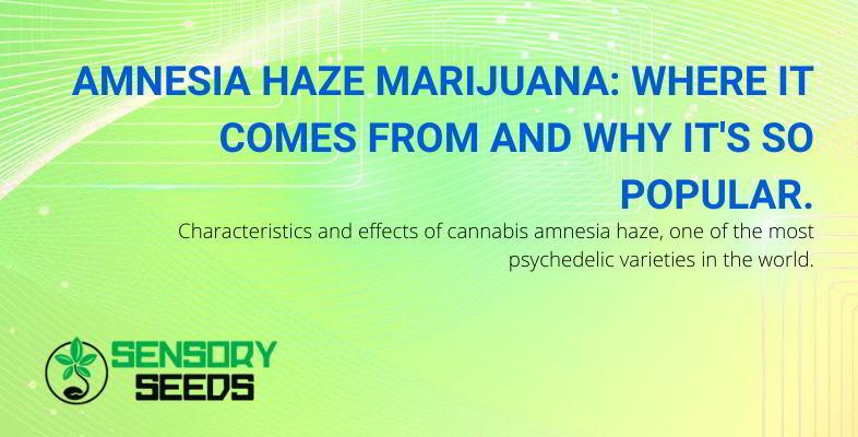 Marijuana Amnesia Haze: characteristics and effects.