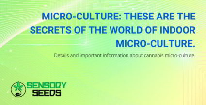Details and important information about cannabis micro-culture.