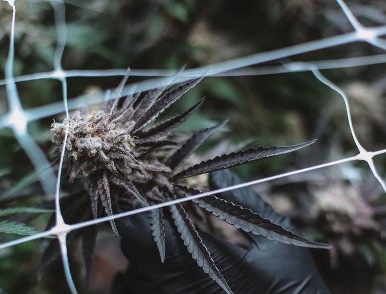 Autoflowering cannabis ruderalis.