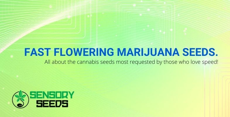 Everything you need to know about fast flowering cannabis seeds
