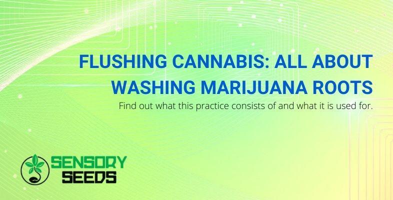 Flushing cannabis: washing marijuana roots