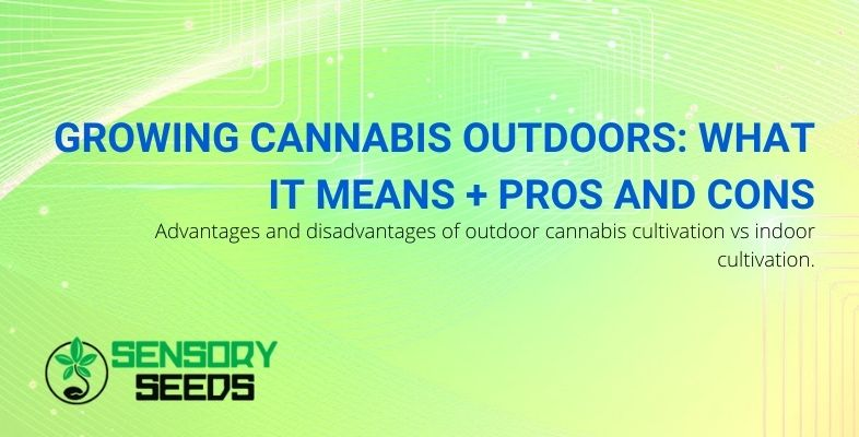 Growing cannabis outdoors: pros and cons.