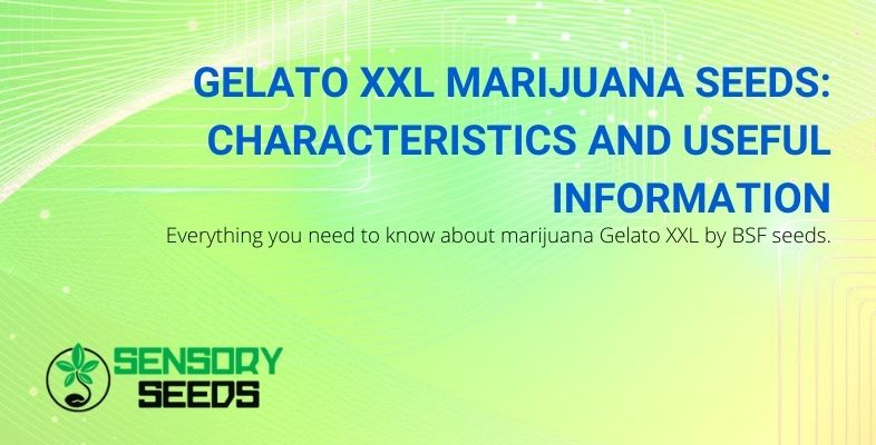 All information about the marijuana Gelato XXL from BSF seeds