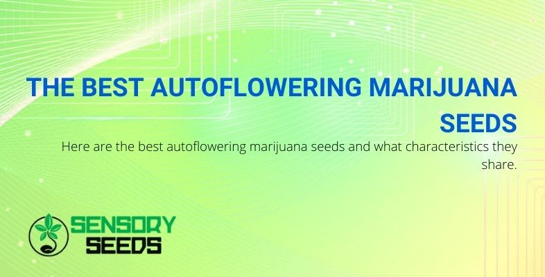 The characteristics of the best autoflowering marijuana seeds