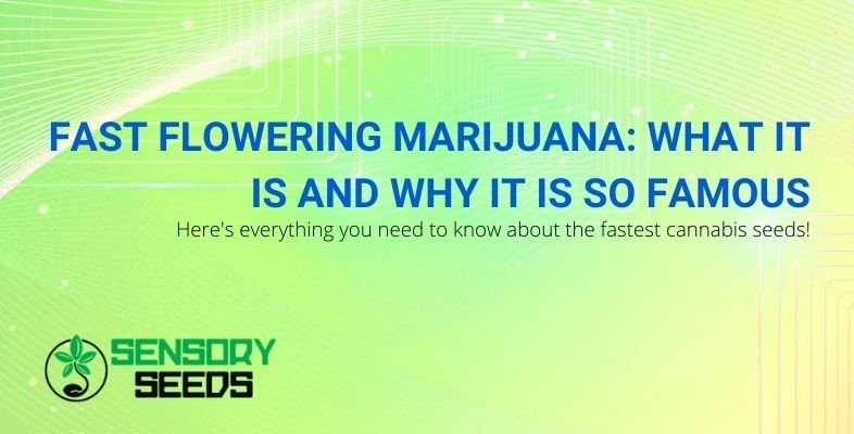 Everything you need to know about fast flowering marijuana