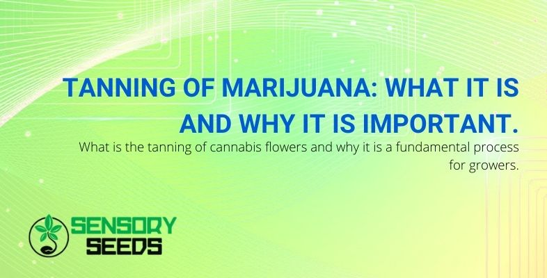 What is marijuana tanning and why is it important