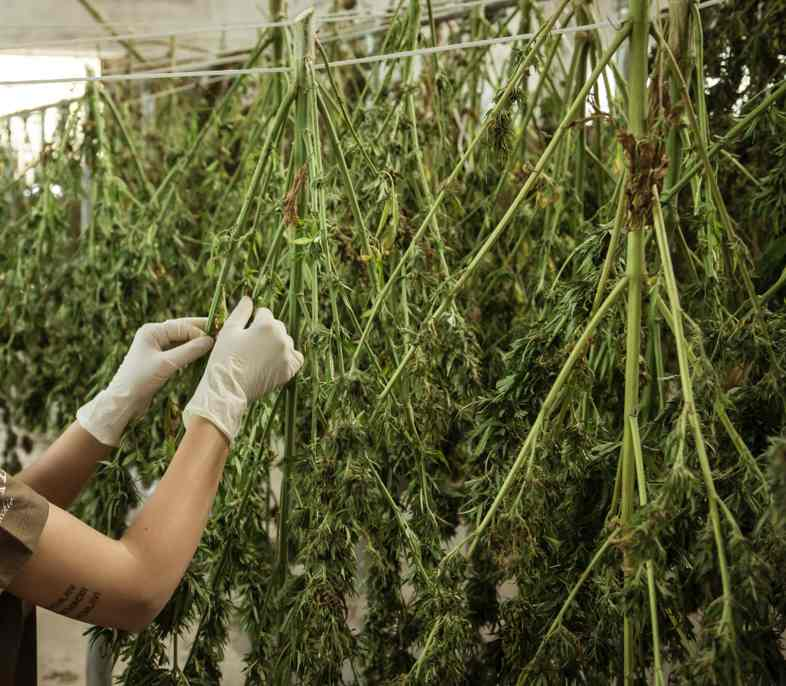 The tanning phase is preceded by the drying of the cannabis flowers
