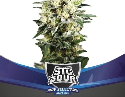 Autoflowering Cannabis Mr. Sour XXL.