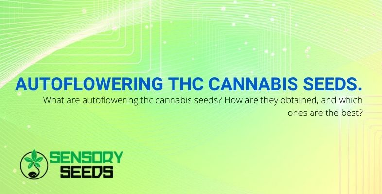 What are autoflowering THC cannabis seeds and which ones to choose